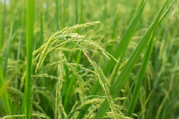 Roślina ryżowa produkuje ziarna na zielonym polu ryżowym, a szkodniki przyczepiają się do liści.