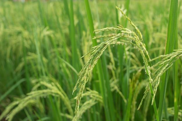 Roślina ryżowa produkuje ziarna w zielonym polu ryżowym.