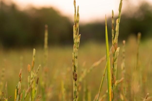 Roślina ryżu w polu o zachodzie słońca