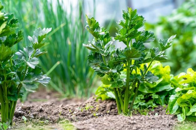 Roślina selera na polu w gospodarstwie