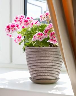 Roślina w doniczce na parapecie w domu. rośliny domowe we wnętrzu pokoju.