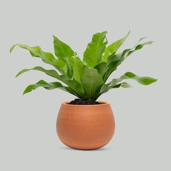 Roślina w doniczce z terakoty ptasie gniazdo paproć roślina