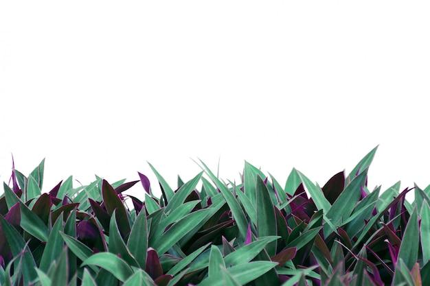 Roślina z dwukolorowymi liśćmi odizolowywającymi na białym tle.