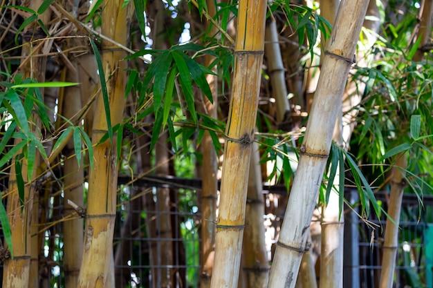 Roślina z pni bambusa ma wydatne gałęzie i liście trzciny. pień bambusa w formie wydrążonej trzciny. szczegóły drzewa bambusa japoński las bambusowy w słoneczny dzień jest rodzajem trawiastej rośliny. gaj bambusowy