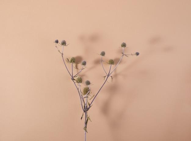 Roślina z rodzaju eryngium na beżowym tle z cieniami minimalistyczna martwa natura widok z góry