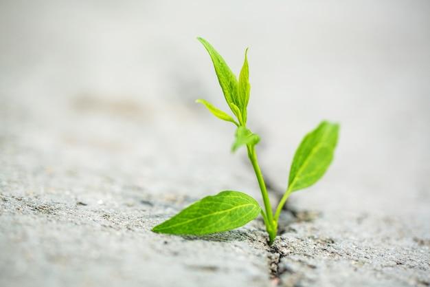 Roślina zakorzenia się na betonowej ścieżce