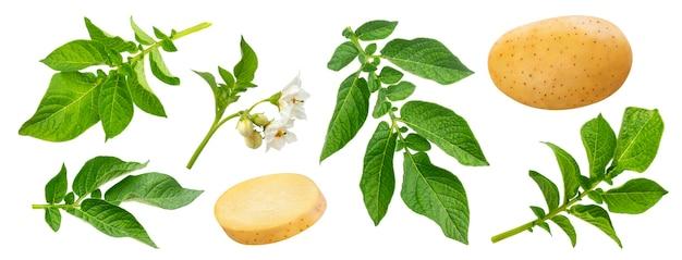 Roślina ziemniaka i liście na białym tle ze ścieżką przycinającą. szczegółowe liście, kwiaty, kwiaty. młoda bulwa ziemniaka, cała i pokrojona. warzywa zawierające skrobię