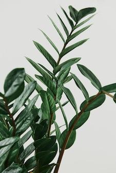 Roślina zz na jasnoszarym tle