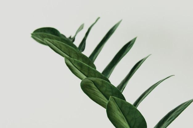 Roślina zz na szarym tle