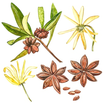 Rośliny anyżu gwiazdkowatego na białym tle.