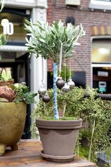 Rośliny bożonarodzeniowe, kwiaty domowe w doniczkach ozdobione świątecznymi bombkami na zewnątrz. drzewo oliwne jako kreatywna choinka. retro wakacje w holandii. europejska kwiaciarnia w zimie na zewnątrz