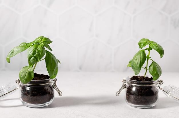 Rośliny doniczkowe bazylii w szklanych słoikach ogrodnictwo domowe