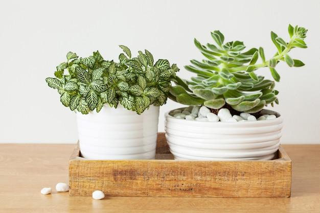 Rośliny doniczkowe fittonia albivenis, echeveria w białych doniczkach