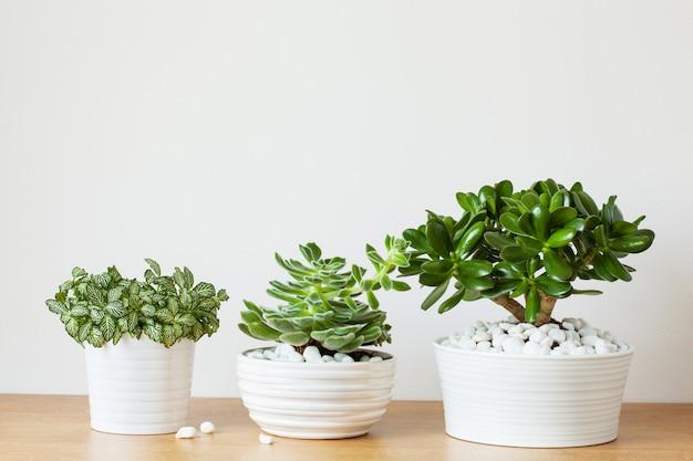 Rośliny doniczkowe fittonia albivenis, gruboszowaty, echeveria w białych doniczkach