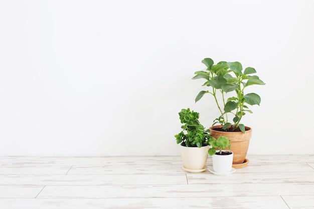 Rośliny doniczkowe w doniczkach na białej drewnianej podłodze na tle białej ściany
