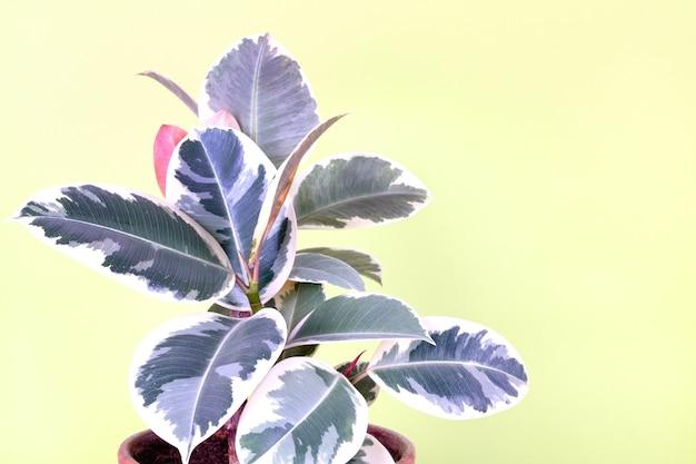 Rośliny kauczukowca ficus pstrokatego tineke na żółto-zielonym tle