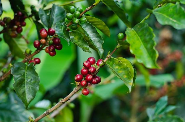 Rośliny kawowe. oddziały z ziaren kawy.