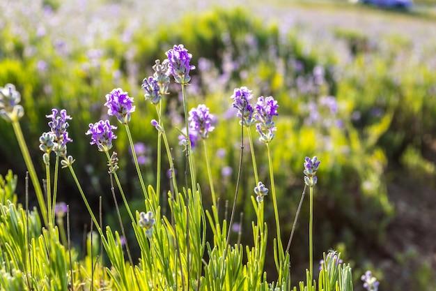 Rośliny lawendy rosnące w polu
