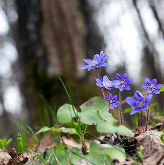 Rośliny leśne na wiosnę w lesie, pierwsze niebieskie leśne kwiaty w sezonie wiosennym