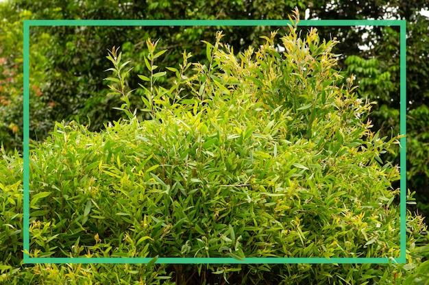 Rośliny melaleuca cajuputi z zieloną ramką, powszechnie znane jako cajuput.