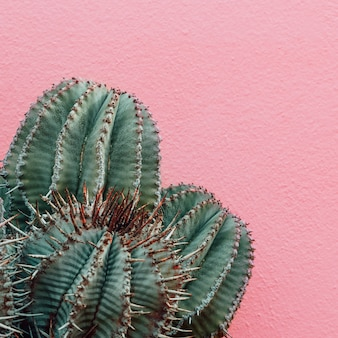 Rośliny na różowej koncepcji minimalnej mody. kaktus na różowej ścianie w tle