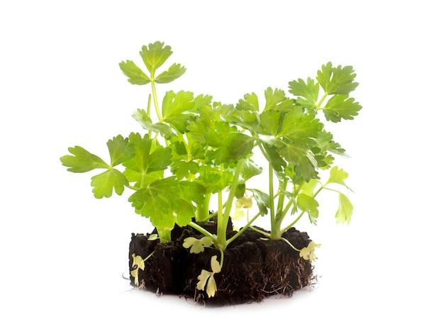 Rośliny pietruszki