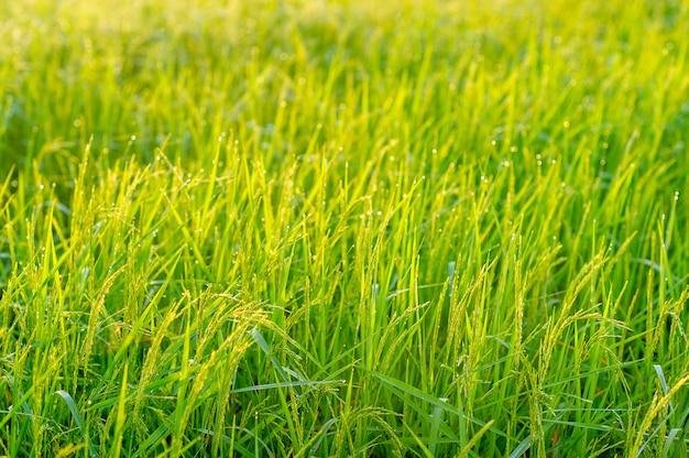 Rośliny ryżowe, które rosną i produkują zboże w okresie żniw.