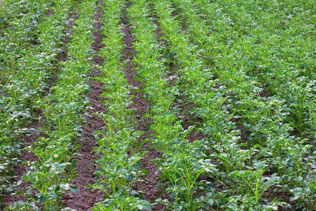 Rośliny są w rzędach pola ziemniaczanego