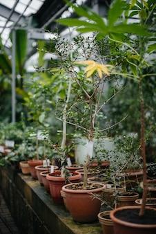 Rośliny tropikalne w doniczkach. szklarnia, sadzonki. kraje tropikalne.