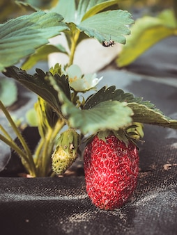 Rośliny truskawki rosnące na czarnym spunbondzie, włókninie ściółkowej. krzew truskawki rośnie w ogrodzie. zamknąć widok.