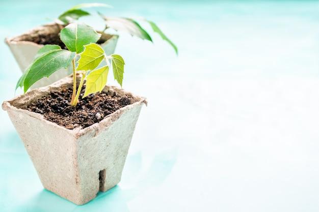 Rośliny w doniczce torfowej na turkusowym tle. dzień ziemi