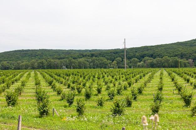Rosnąca leszczyna. pole z krzakami orzechów laskowych. nawadnianie kroplowe do sadzenia orzechów laskowych.