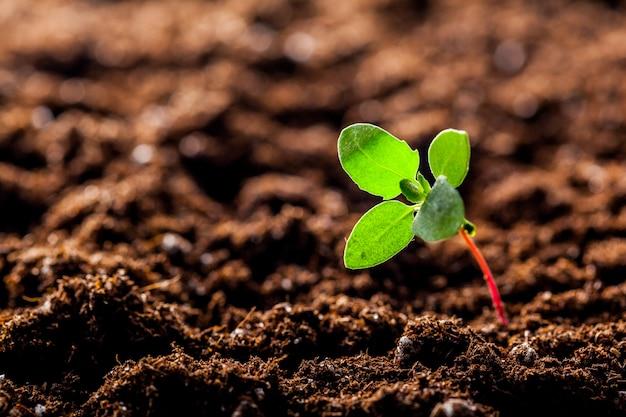 Rosnąca młoda zielona kukurydza kiełkuje w glebie
