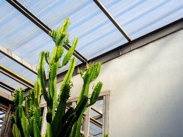 Rosnąca wysoka zielona roślina kaktusowa. wysoka roślina kaktusowa rosnąca w pobliżu przezroczystego falistego plastikowego dachu wewnątrz budynku z miejscem na kopię.
