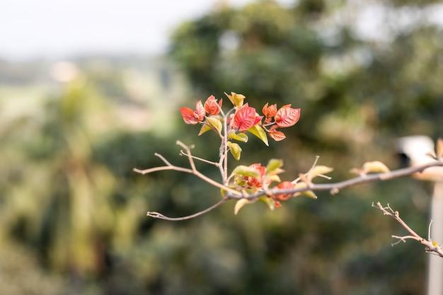 Rosnące czerwone i zielone liście na gałęzi bugenwilli