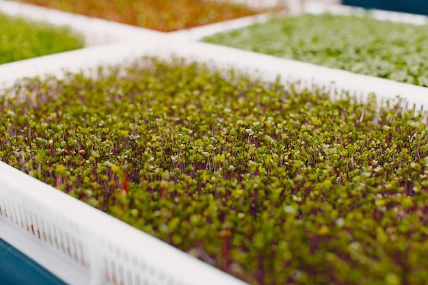 Rosnące microgreeny na tle stołu. koncepcja zdrowego odżywiania. świeże produkty ogrodowe uprawiane metodami ekologicznymi jako symbol zdrowia. zbliżenie microgreens.
