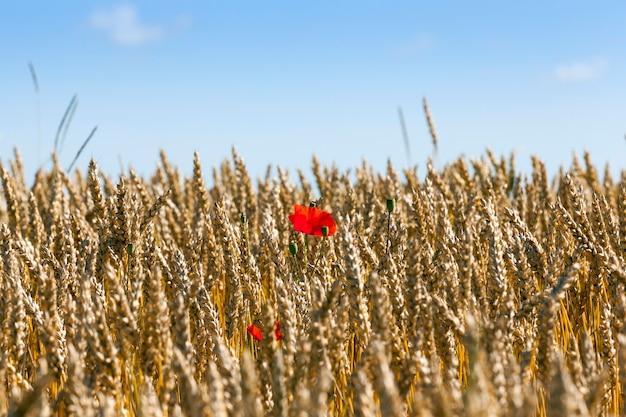 Rosnące na polu dojrzałej pszenicy czerwone kwiaty maku w letni dzień, zbliżenie