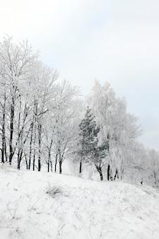 Rosnące na wzgórzu drzewa pokryte szronem, fotografowane w okresie zimowym podczas mrozu. pochmurna pogoda i szare niebo.