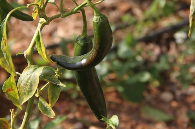 Rosnące papryczki chili w ogrodzie