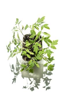 Rosnące sadzonki pomidorów. młode pędy, izolowanie, copyspace,