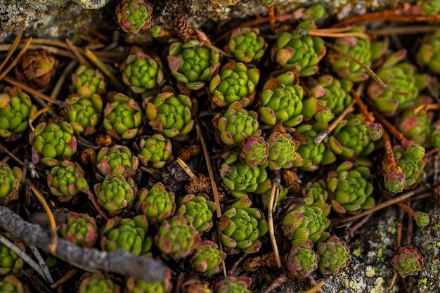 Rosnące soczyste rośliny