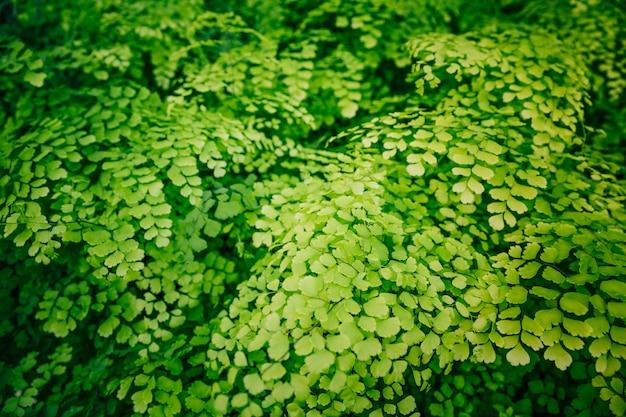 Rosnące świeże liście adiantum capillus-veneris