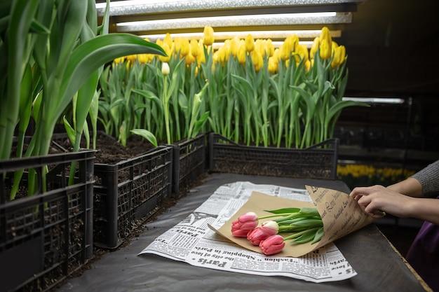 Rosnące tulipany w szklarni.
