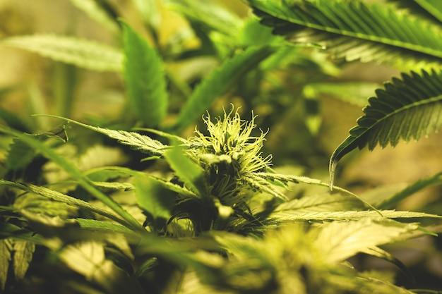 Rosnące zielone pąki konopi w pomieszczeniu. uprawa marihuany medycznej. kwitnąca roślina marihuany