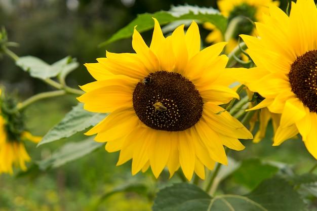 Rosnący słonecznik. kwitnące słoneczniki. piękne słonecznikowe pole.