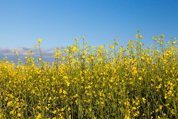 Rośnie w rolnictwie kwiat rzepaku polowego, błękitne niebo w