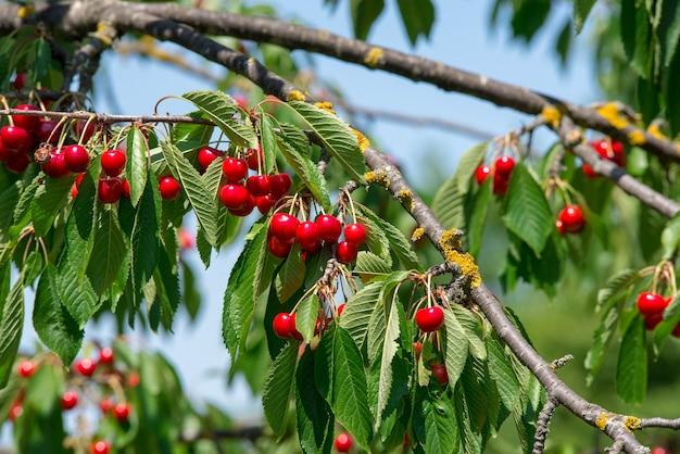 Rośnie wiśnia na gałęzi, dojrzewająca czerwona wiśnia.