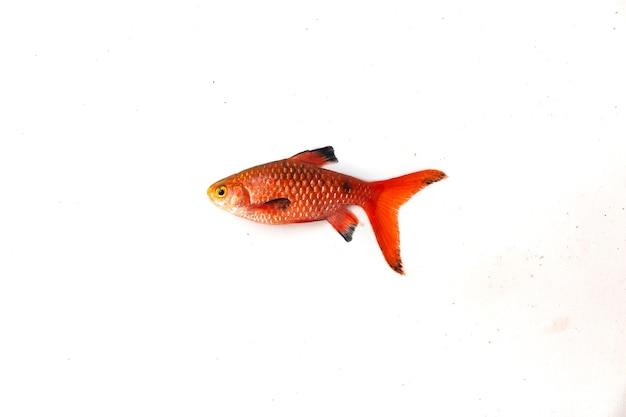 Rosy barb pethia conchonius ryba na białym tle