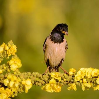 Rosy starling jest na kwiatku