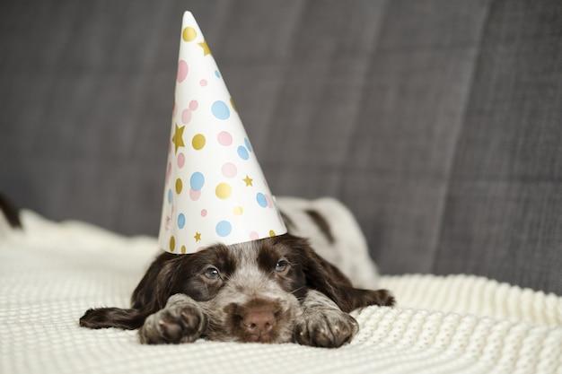 Rosyjski spaniel czekoladowy merle niebieskie oczy zabawny szczeniak w kapeluszu na kanapie. święto. wszystkiego najlepszego z okazji urodzin. nowy rok. wesołych świąt. otwarte usta. na białej kanapie w kratę.
